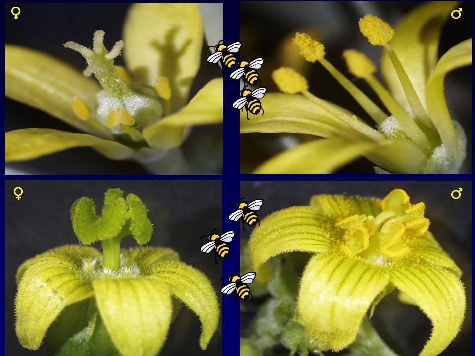 Flores entomógamas -