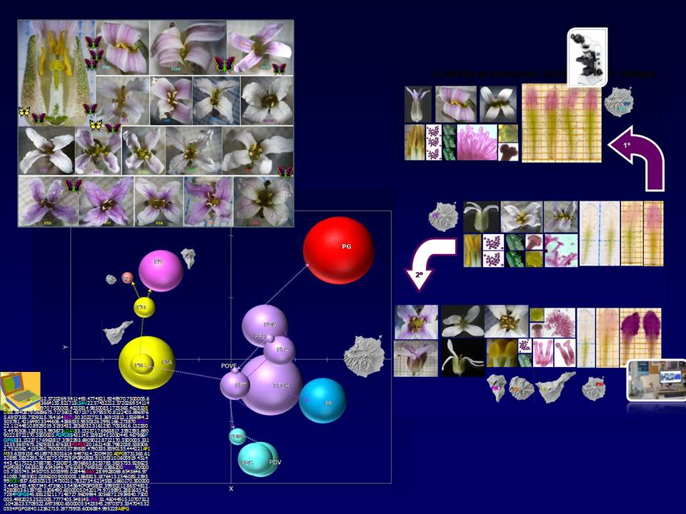 Parolinia, flores -