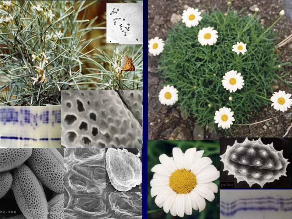 Parolinia y Argyranthemum -