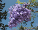 Jacaranda mimosifolia -