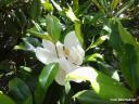 Magnolia grandiflora (sureste de EEUU) -