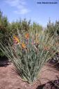 Strelitzia parvifolia (África austral) -