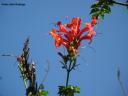 Tecomaria capensis (África austral) -