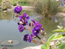 Tibouchina grandifolia (Brasil) -