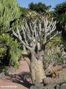 Aloe dichotoma. Árbol del carcaj (Suroeste de África) -