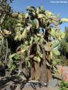 Opuntia echios (Galápagos) -