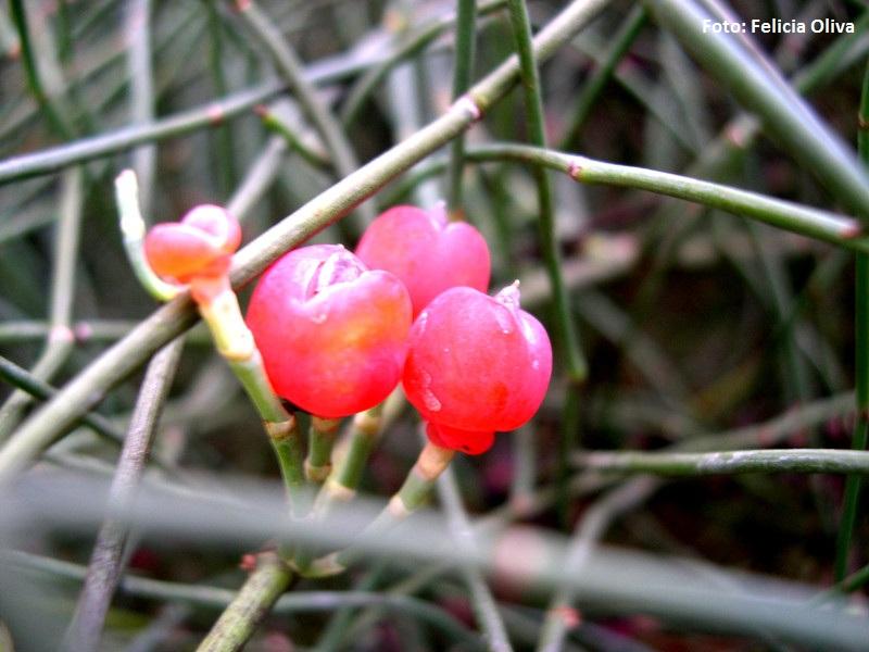 Ephedra fragilis -