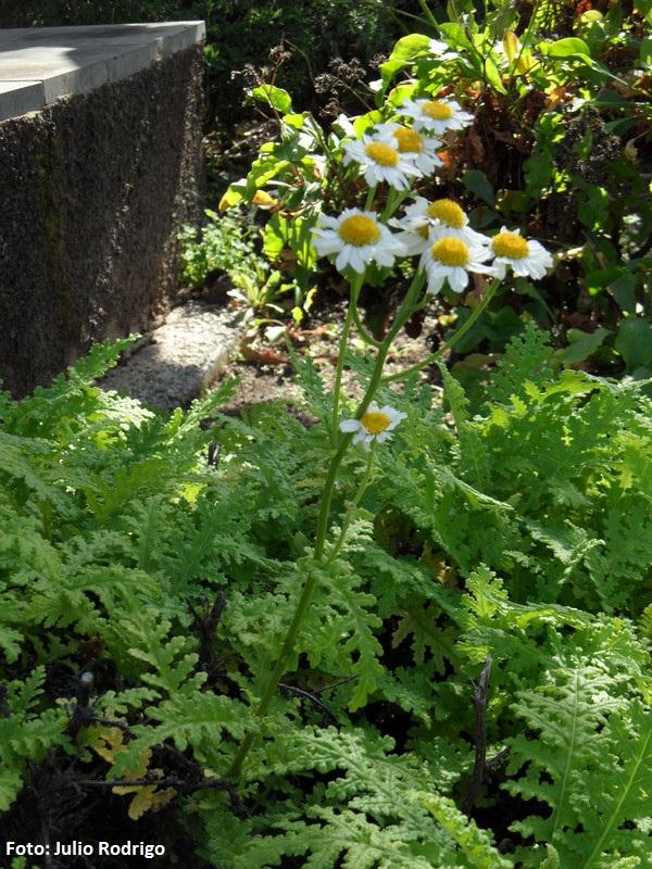Gonospermum revolutum -
