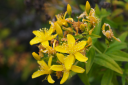Hypericum canariensis -