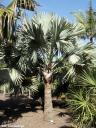 Bismarckia nobilis. Palmera de Bismarck (Madagascar) -