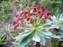 Euphorbia atropurpurea var. atropurpurea -