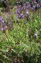 Lavandula canariensis -