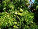 Juniperus cedrus, detalle -