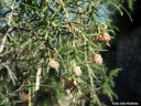 Juniperus cedrus -