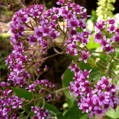 Especies amenazadas flora jard n bot nico viera y clavijo for Jardin canario horario