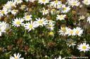 Argyranthemum frutescens -