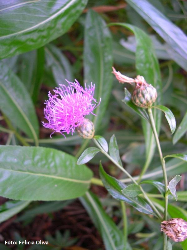 Cheirolophus arbutifolius -