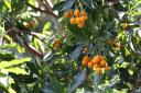 Arbutus canariensis -