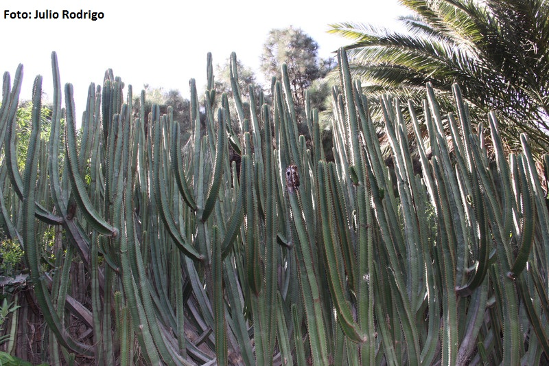 Euphorbia canariensis -