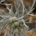 Neochamaelea pulverulenta -