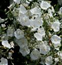 Convolvulus floridus -