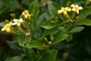 Jasminum odoratissimum -