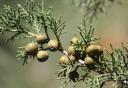 Juniperus canariensis -