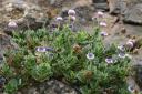 Globularia sarcophylla -