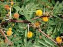 Acacia farnesiana. Mimosa (América) -
