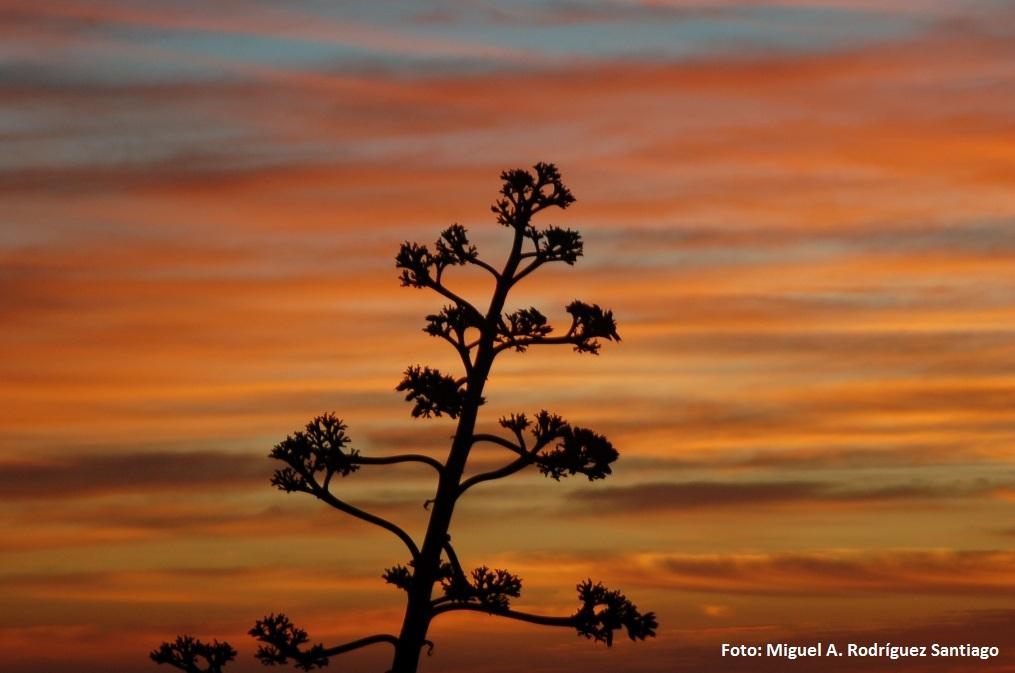 Agave americana 'variegata'. Pita, pitera (México) -