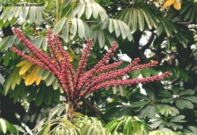 Brassaia actinophylla. Árbol paraguas (Australia) -