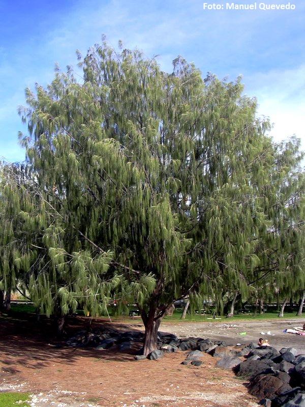 Casuarina equisetifolia. Pino marino (Australia) -