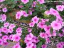 Catharanthus roseus. Periquitos, vinca rosa (Madagascar) -