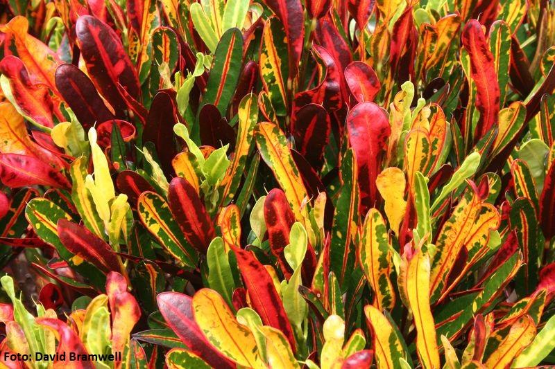 Codiaeum variegatum. Croto (Pacífico Sur) -