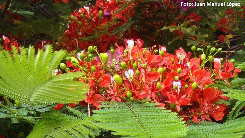 Delonix regia. Flamboyant (Madagascar) -