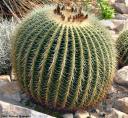 Echinocactus grusonii -