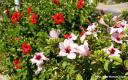 Hibiscus rosa-sinensis. Hibisco (China) -