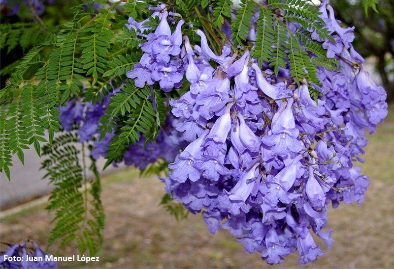 Jacaranda ovalifolia. Jacarandá (Argentina, Uruguay y Brasil) -