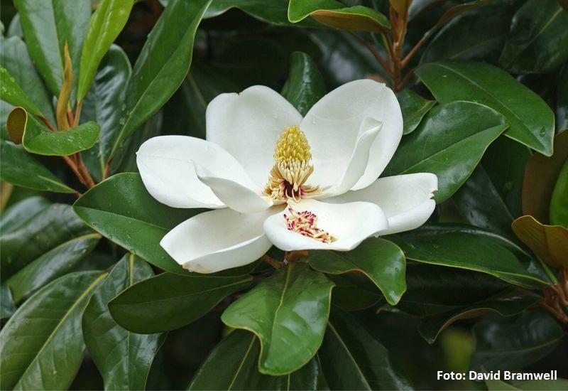 Magnolia grandiflora. Magnolio (Texas) -