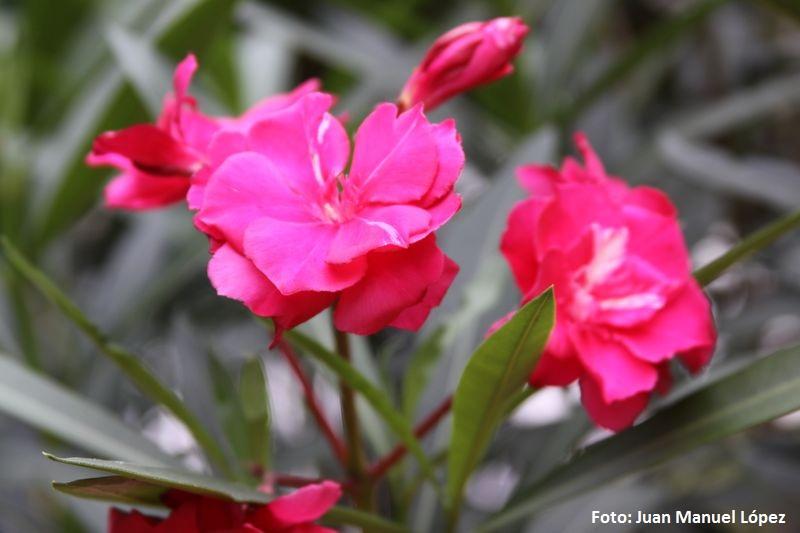 Nerium oleander. Adelfa (Mediterráneo) -