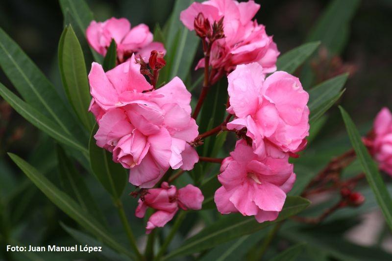 Nerium oleander -