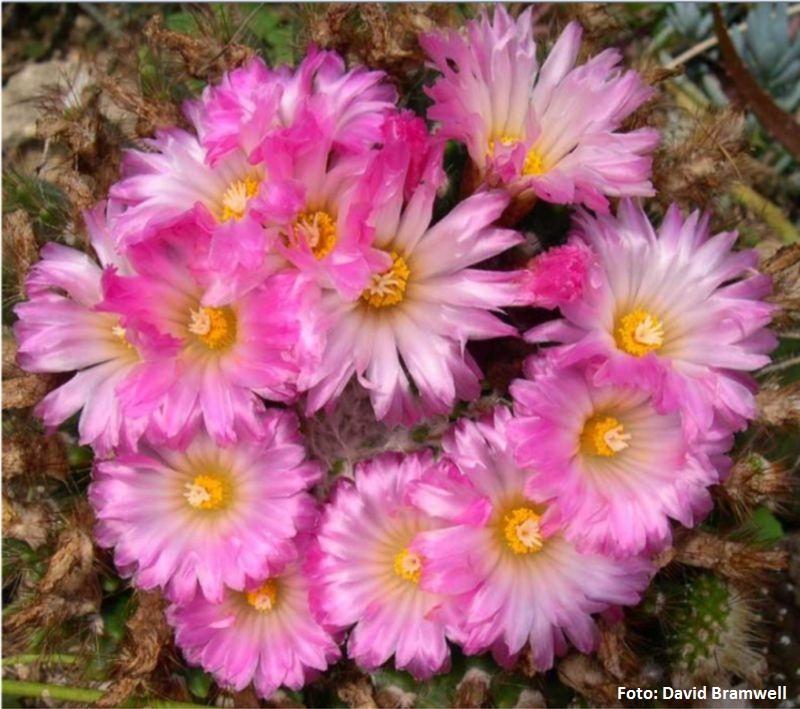 Notocactus (Parodia) herteri  (Uruguay) -