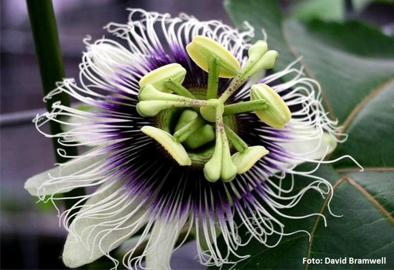 Passiflora edulis -