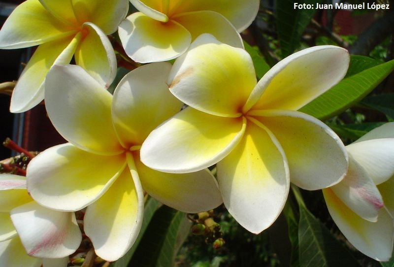 Plumeria rubra. Flor de cebo (México) -