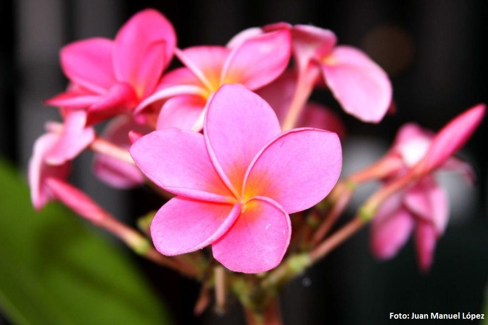 Plumeria rubra. Frangipani o flor del templo (América Central) -