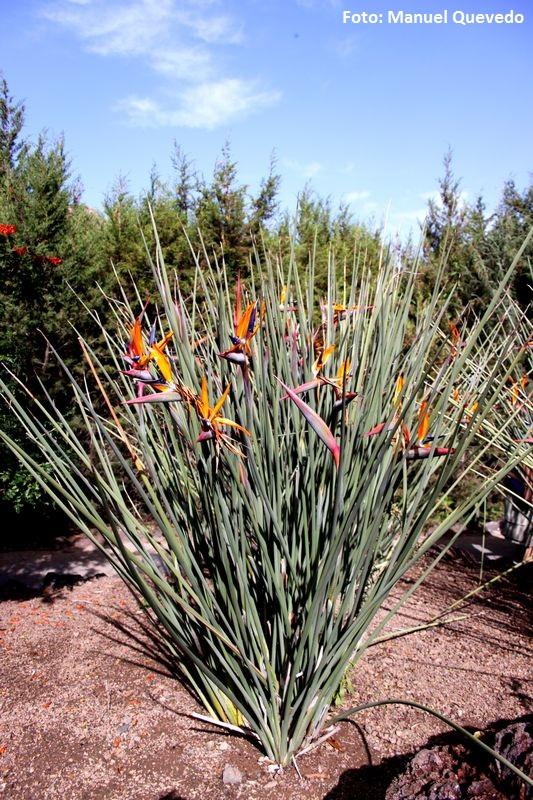 Strelitzia parvifolia. Flor del ave del paraíso (Sudáfrica) -